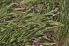 Agropyron cristatum, Crested Wheatgrass.