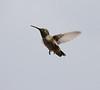 Selasphorus platycercus Female Broad-tailed Hummingbird. E of Alpine, UT.