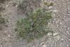 Pinus spec., Semi desert, Big Sand Wash Res., Duchesne, UT.
