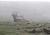 Cervus elaphus, male Elk in mist near Gore Range 3700m