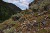habitat of Calochortus nuttallii, Sego Lily amongst Artemisia tridentata, Big Sagebrush,  Sego Lily = State flower of Utah, Wasatch Range