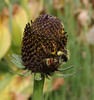 Bombus appositus on Rudbeckia occidentalis, Bumble Bee on Western coneflower.