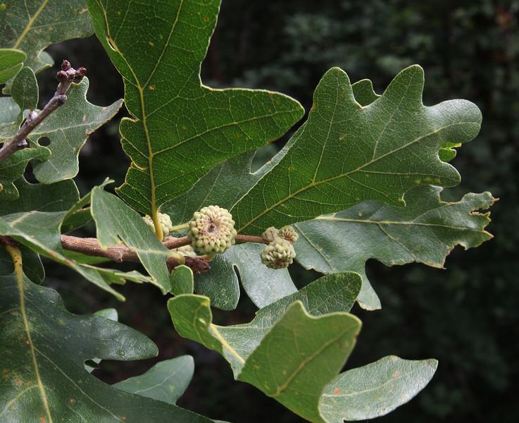 Quercus gambelii, Gambel's Oak.