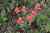 Castilleja rhexifolia, Alpine Paintbrush along Old Fall River Road