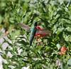 Selasphorus platycercus on Castilleja cf. rhexifolia, male Broad-tailed Hummingbird on Alpine Indian Paintbrush. Catherine Pass 2669m, Brighton, UT.
