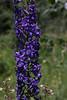 Delphinium glaucum, Tall mountain Larkspur.