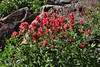 Castilleja cf. rhexiifolia, Secret Lake Trail, Alta, UT.