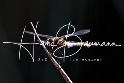 dragonfly vv