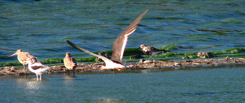 skimmer and black-bellied plover