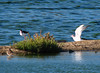 Stilt and tern