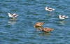 Avocets and marbled godwit?