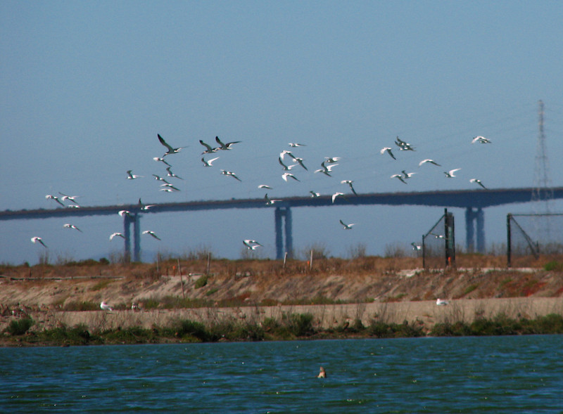 Skimmers flying with the terns