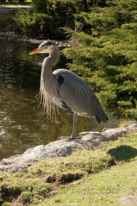 Great Blue Heron in Beacon Hill Park