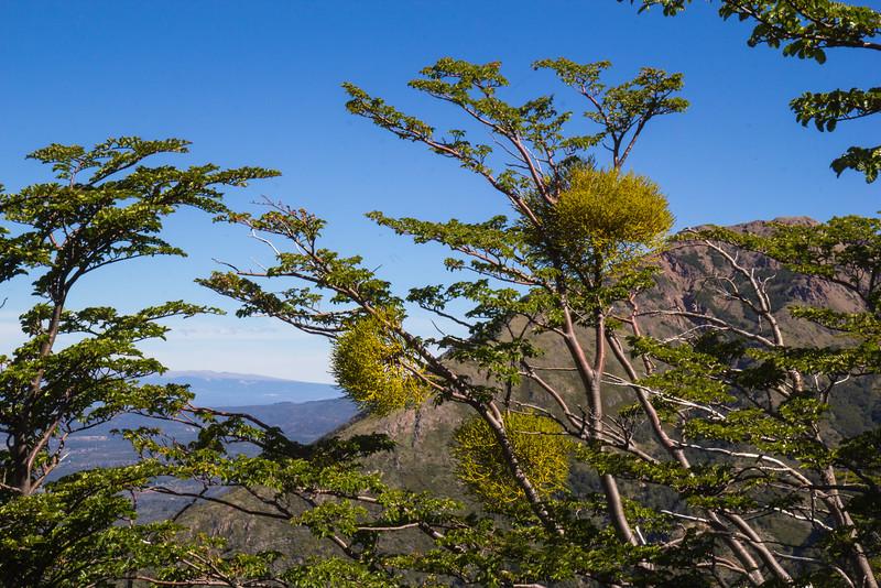 Misodendron cf. punctulatum on Nothofagus pumilio
