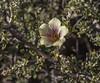 Corynabutilon bicolor