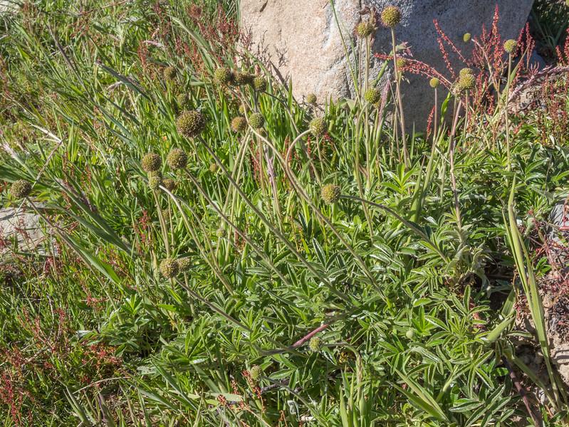 Acaena ovalifolia