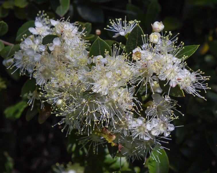 Amomyrus luma