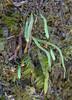 Grammitis poeppigiana or G. magellanica