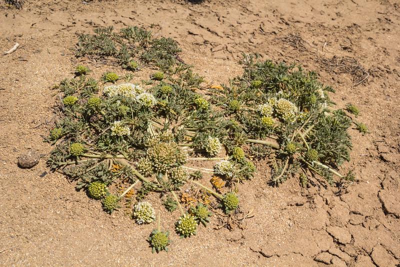 Gamocarpha selliana