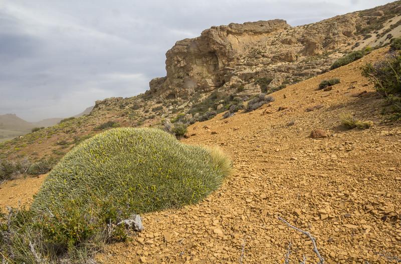 Anarthrophyllum strigulipetalum