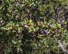 Berberis heterophylla