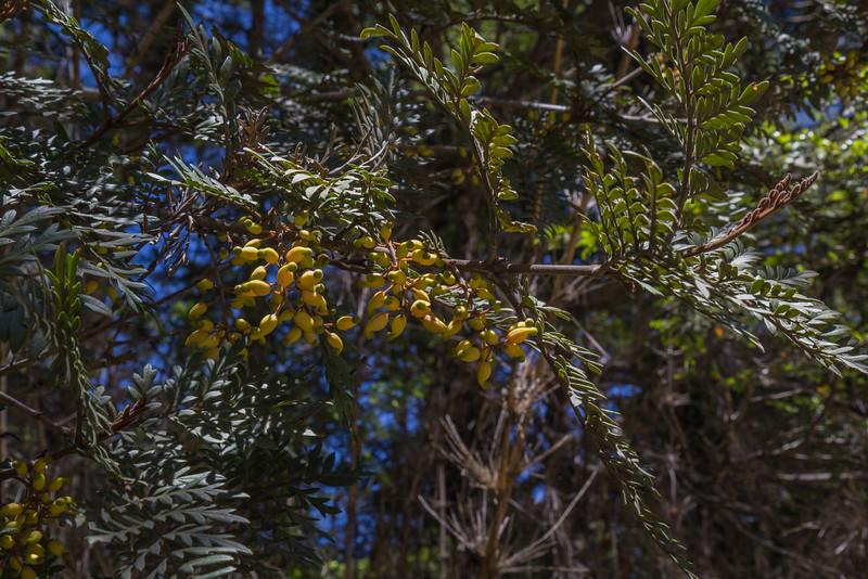 Lomatia ferruginea