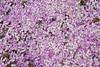 Junellia toninii ssp. mulinoides