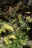 Blechnum chilense