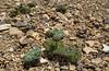 Callianthemoides semiverticillata, former Ranunculus semiverticellatus