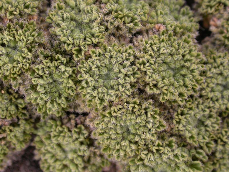Oxalis erythrorhiza