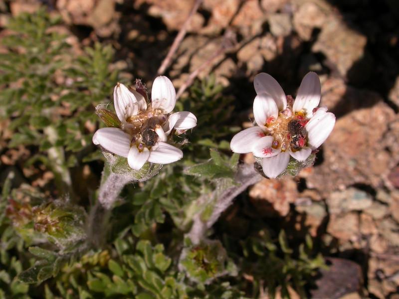 Leucheria millefolium