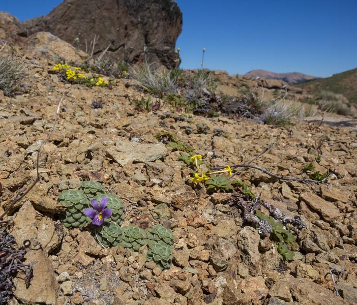 Viola columnaris and Oreopolus glacialis
