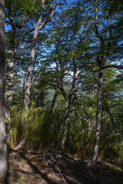 Nothofagus dombeyi, Maytenus boaria and Chusquea coleou