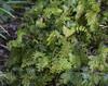 Hymenophyllum pectinatum