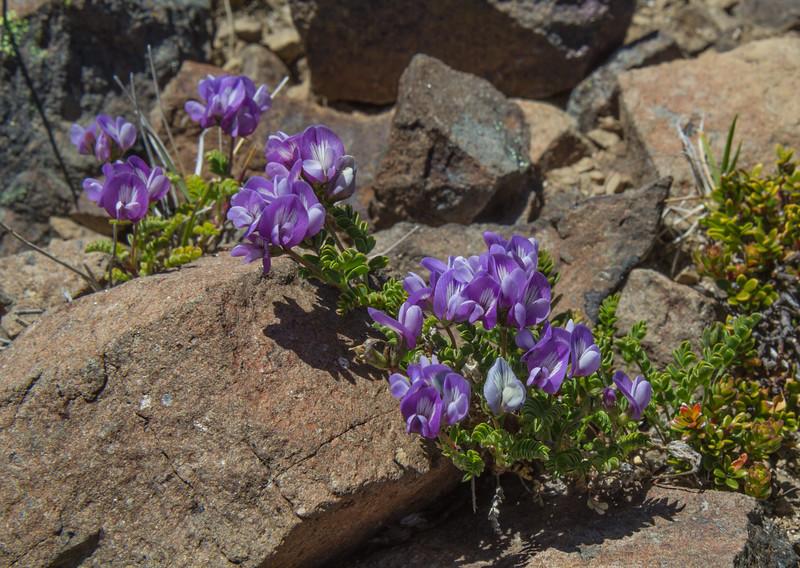 Astragalus palenae