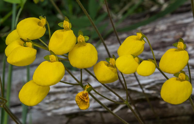 Calceolaria filicaulis ssp. filicaulis