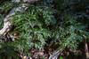 Hymenophyllum krauseanum