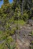 Gavilea araucana