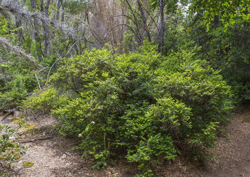 Gaultheria phillyreifolia