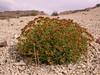 Mulinum echinus