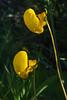 Canceolaria lanceolata ?