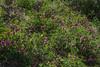 Vicia nigricans