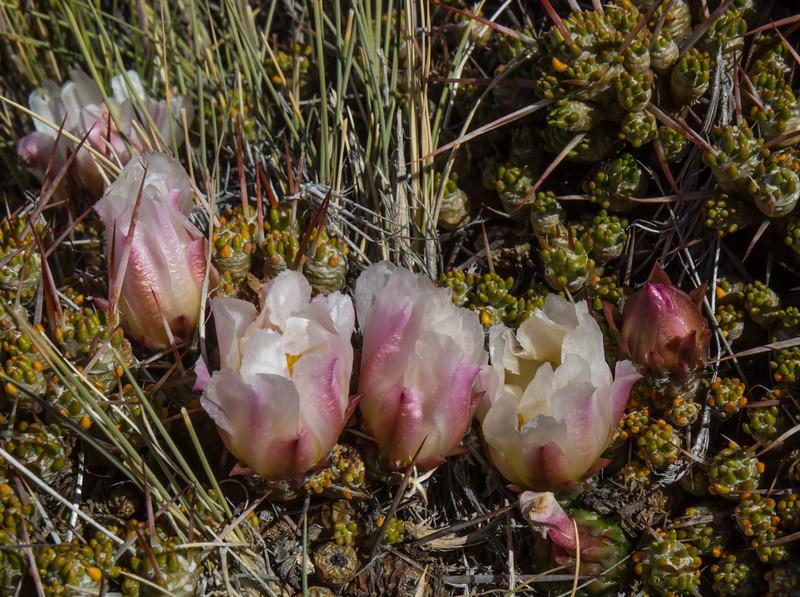Maihuenia patagonica