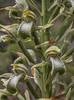 Chloraea cylindrostachya