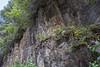 Calceolaria crenatiflora