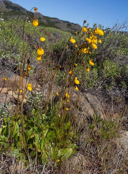 Calceolaria spec. ?