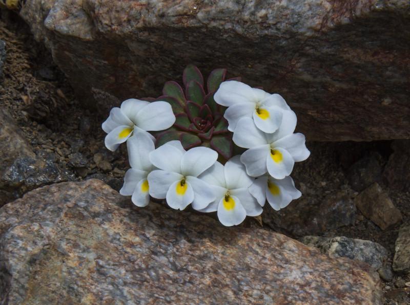 Viola sacculus