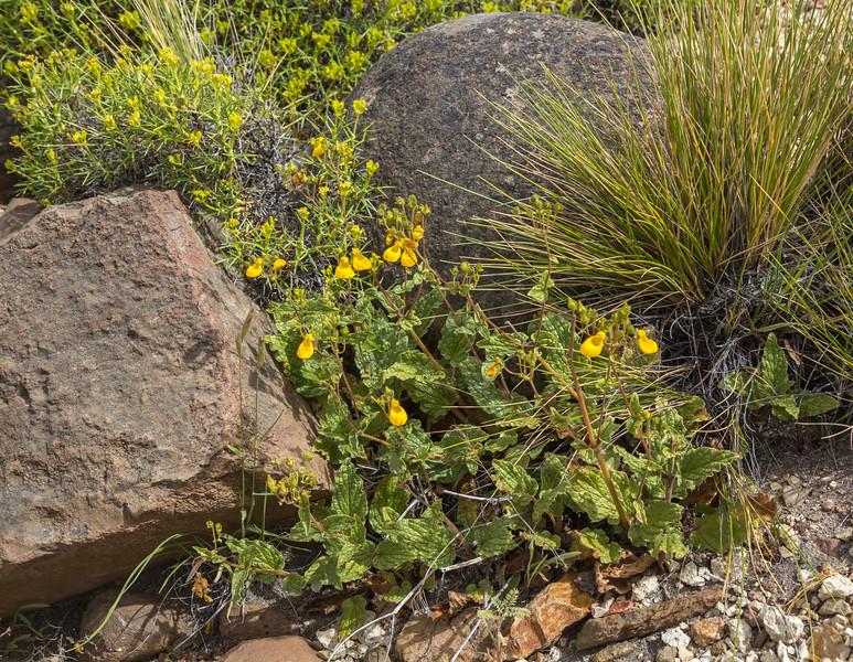 Calceolaria germainii