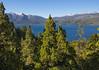 Austrocedrus chilensis, view at Lago Futalaufquen