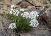 Onuris graminifolia